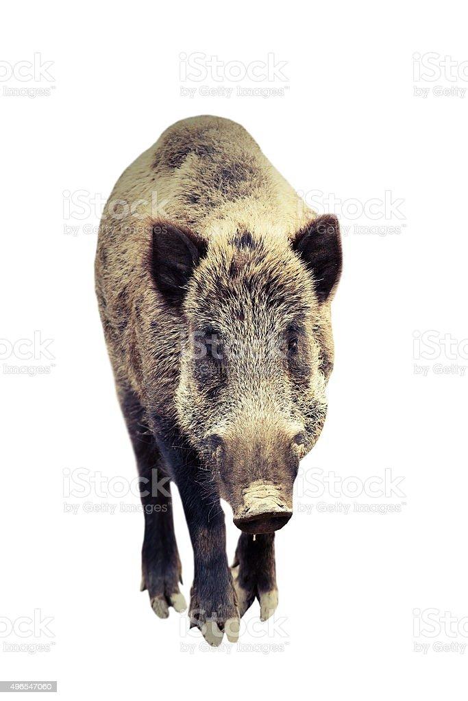 Isolierte wild boar Volle Länge – Foto