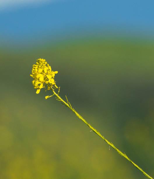 Isolated Wild Mustard stock photo