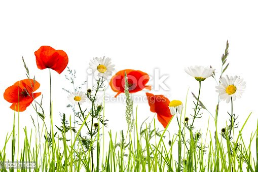 997750962 istock photo isolated wildflower meadow in summertime 1029711626