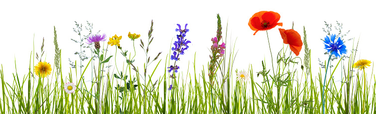 colorful wildflower meadow on white background