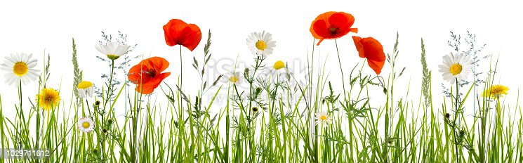 997750962 istock photo isolated wildflowers in grass meadow 1029711612