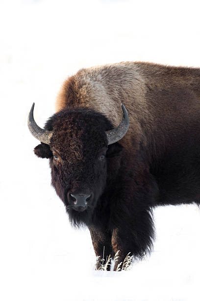 Isolated Winter Bison in the Tetons stock photo