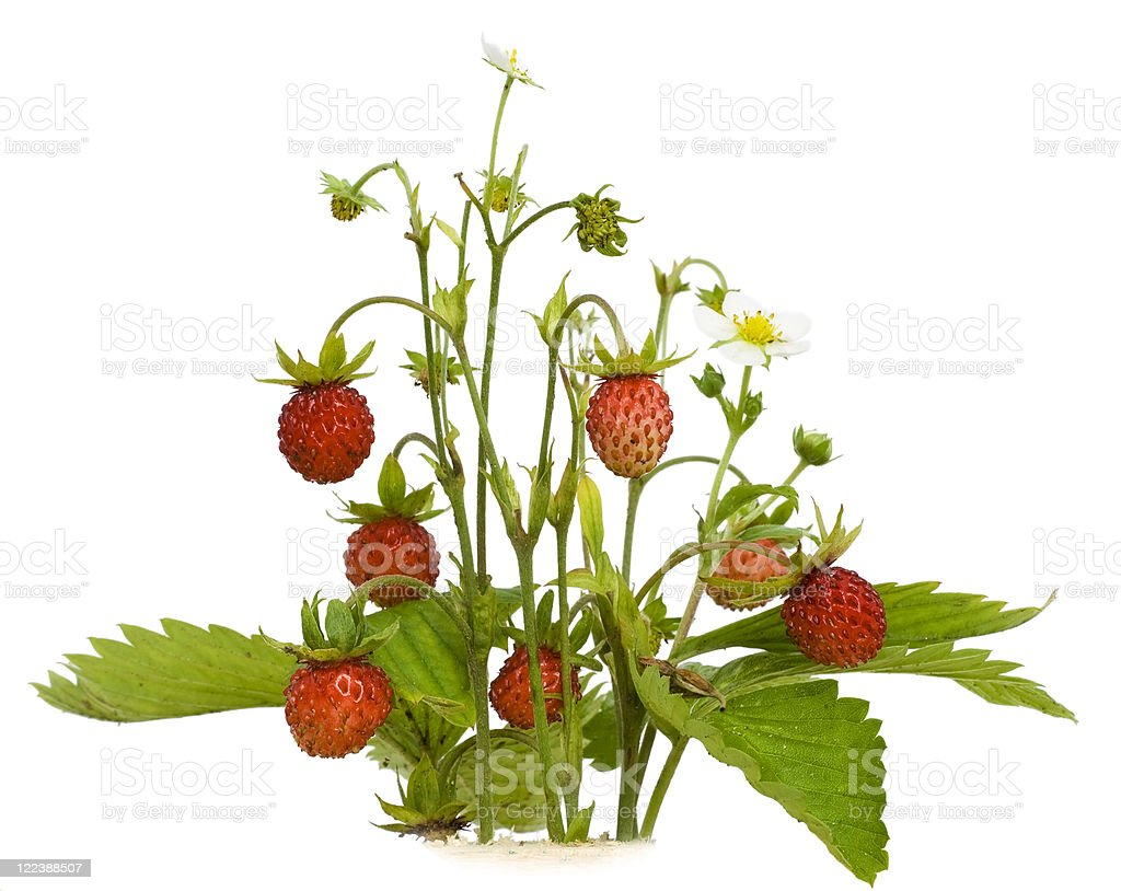 Isolated wood wild strawberry stock photo