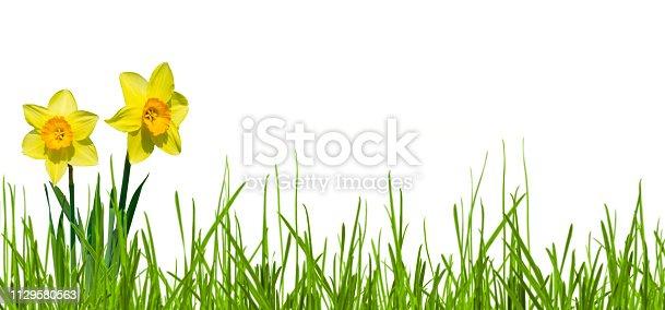 istock isolated yellow narcissi on white background 1129580563