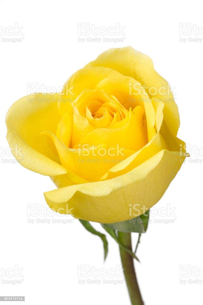 isolated yellow rose on white background royalty-free stock photo