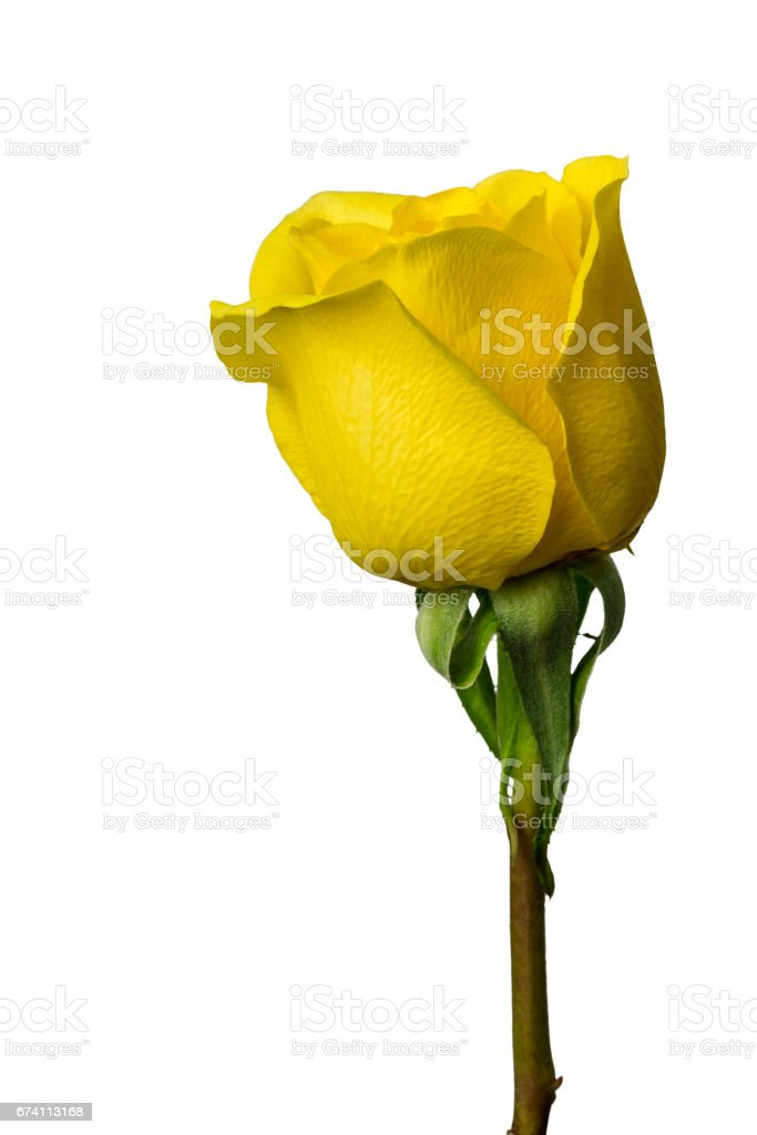 isolated yellow rose on white background 免版稅 stock photo