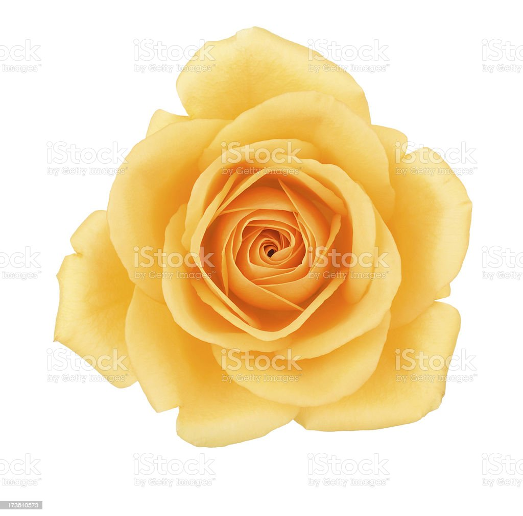 Isolated Yellow Rose stock photo