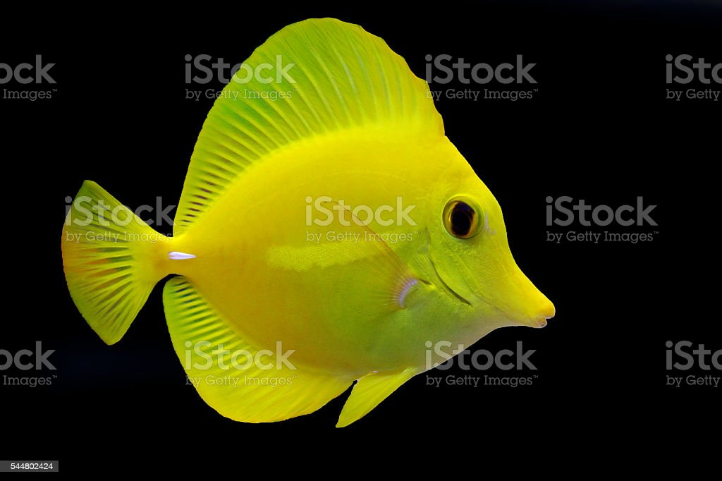 Isolated Yellow tang stock photo