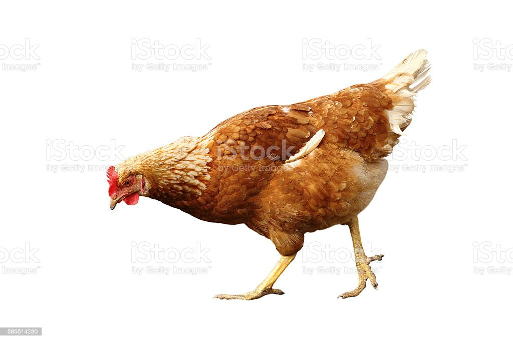 isolated young hen stock photo