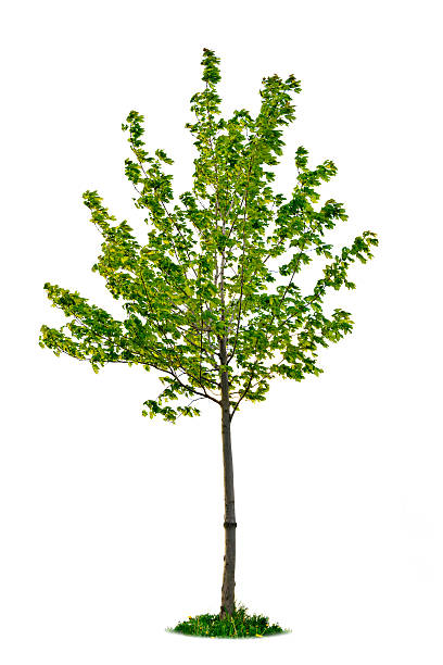 Isolated young maple tree stock photo