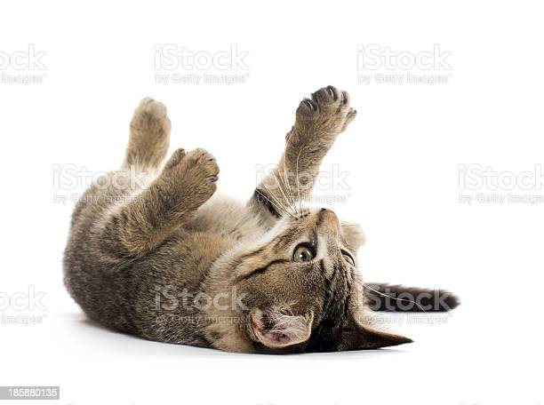 Isolated young tabby cat playing on its back picture id185880135?b=1&k=6&m=185880135&s=612x612&h=stylwoxupmut 9qc04ztot0epx8eafiz23enehqnac8=