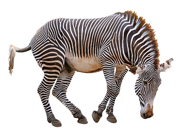 Isolated zebra of grevy picture id489835308?b=1&k=6&m=489835308&s=612x612&w=0&h=9v5 iitypfao1lqi8w370jjurl6 hesxhdb1h9nd7tw=