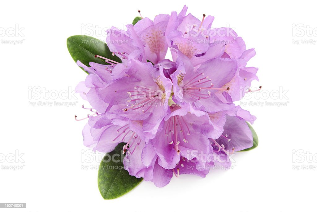 isolatedred purple Rhododendron stock photo