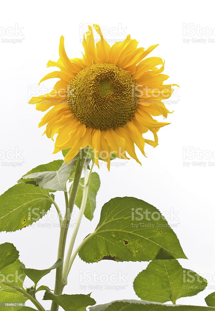 Isolates of the sunflower royalty-free stock photo