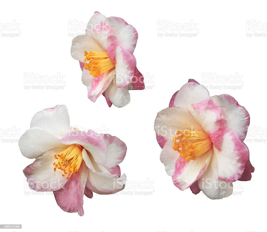 Isolation of Three Fancy Camellia stock photo