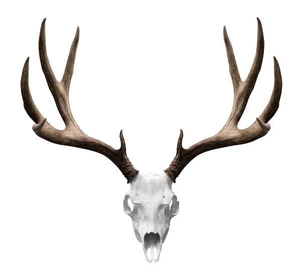 isolted deer skull - antlers stock photos and pictures