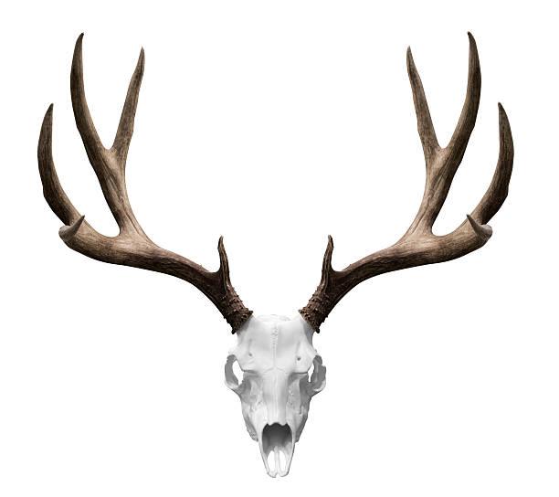 jelenia isolted czaszka - róg zdjęcia i obrazy z banku zdjęć