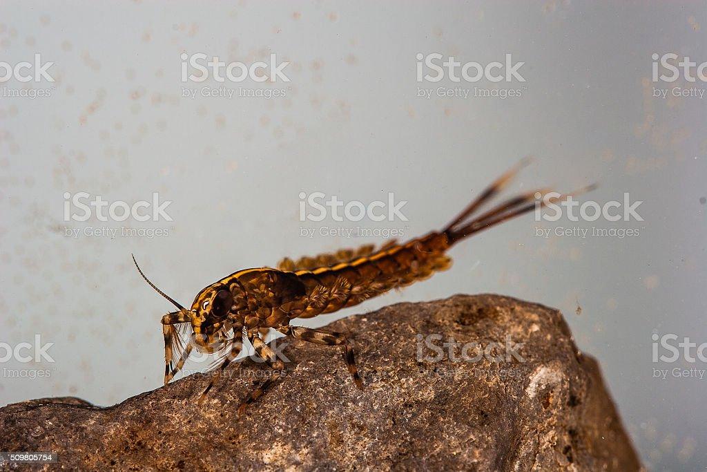 Isonychia swimming mayfly nymph stock photo