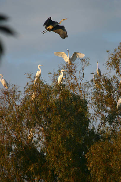 Israel Heron Bird Migration stock photo