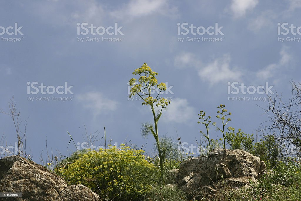 Israel  spring time giant fennel stock photo