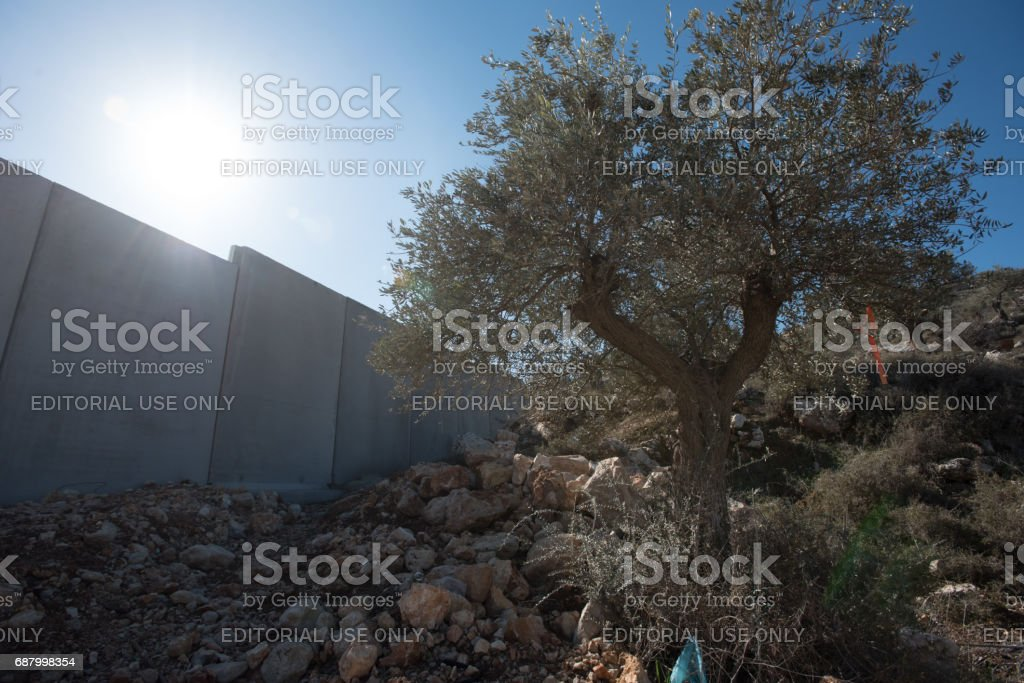 Israeli separation wall and olive trees in West Bank stock photo