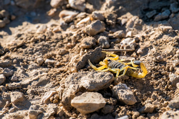 Israeli yellow scorpion known as the deathstalker, hid behind a stone (Leiurus quinquestriatus) Israeli yellow scorpion known as the deathstalker, hid behind a stone (Leiurus quinquestriatus) buthidae stock pictures, royalty-free photos & images
