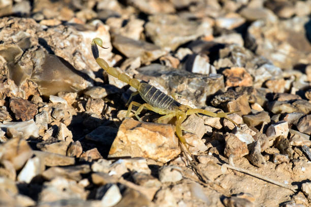 Israeli yellow scorpion known as the deathstalker, is preparing to attack (Leiurus quinquestriatus) Israeli yellow scorpion known as the deathstalker, is preparing to attack (Leiurus quinquestriatus) buthidae stock pictures, royalty-free photos & images