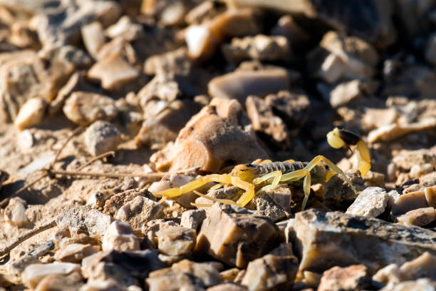 Israeli yellow scorpion known as the deathstalker, sits on stones (Leiurus quinquestriatus) Israeli yellow scorpion known as the deathstalker, sits on stones (Leiurus quinquestriatus) buthidae stock pictures, royalty-free photos & images