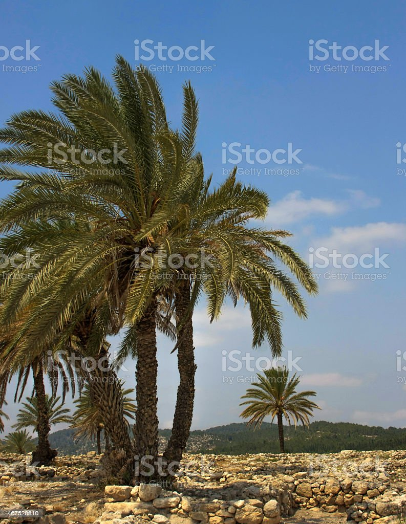 Isreal Palm Trees in Megiddo stock photo