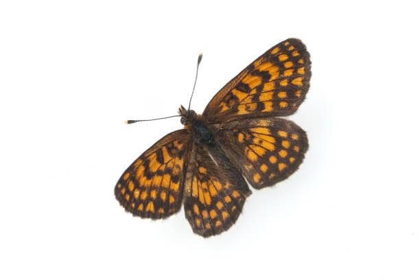 Issoria; Lathonia; Nymphalidae – Foto