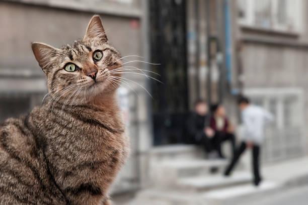 Istanbul cat picture id482534523?b=1&k=6&m=482534523&s=612x612&w=0&h=s92iwksjkd u56ce 7tnzpsbxy 0onikuquzogkqmsu=
