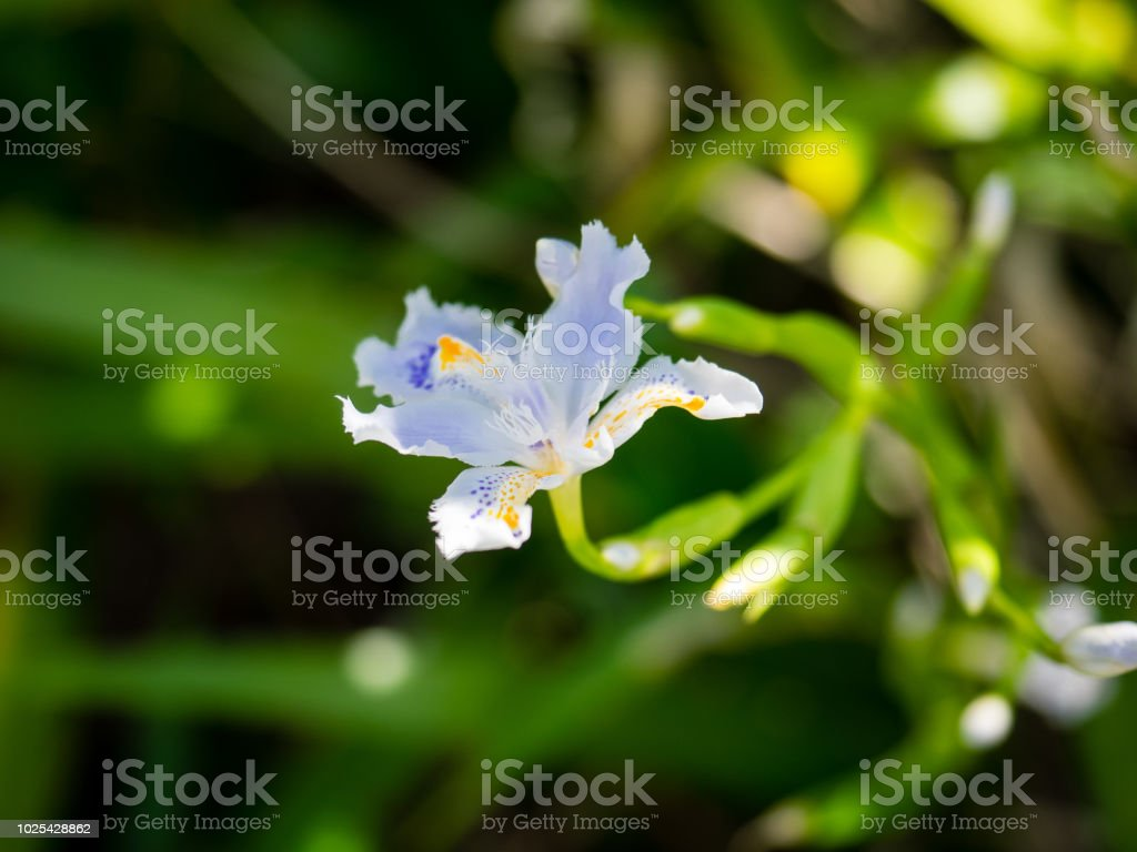 It Is A Flower Of Iris Japonica It Is White And Very Beautiful Stock