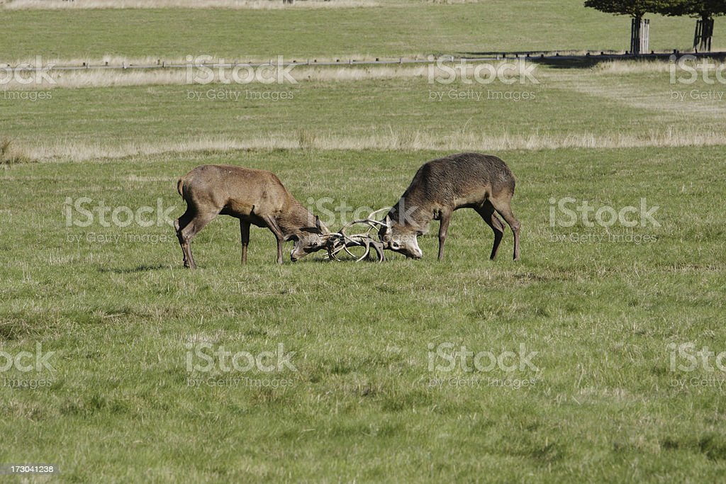 Two bachelor stags tussle early in rut Cervus elaphus stock photo