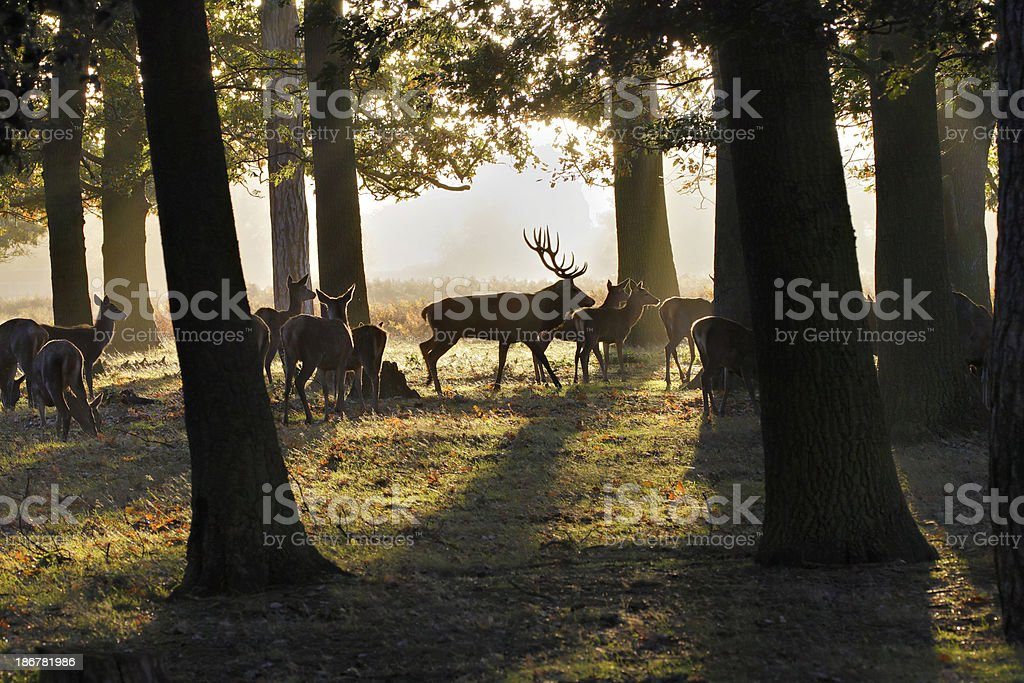 Red deer herd in oak woodland with stag at rut stock photo