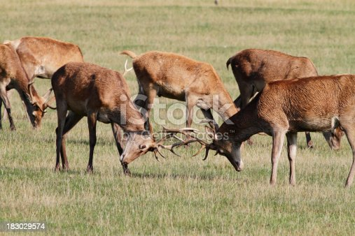 465666157 istock photo Two young red deer stags Cervus elaphus matching antlers 183029574
