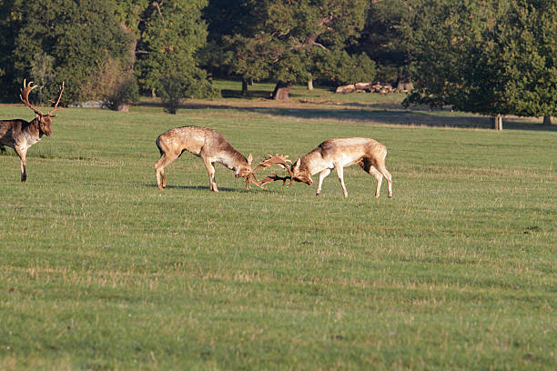two fallow deer bucks fight as third looks on - whiteway deer stock photos and pictures