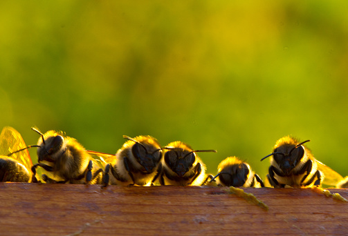 istock It is we, the new generation of bees! 1135335629