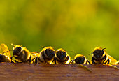 Young bees learn about the world around them.