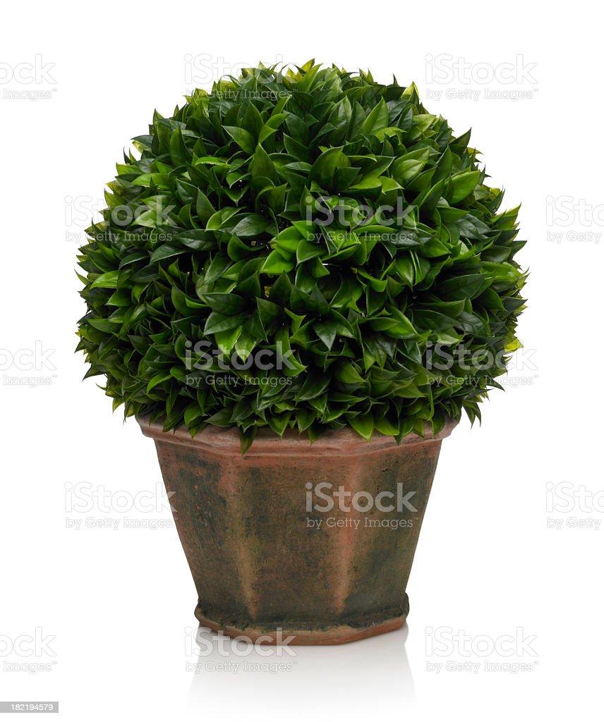 Italian Bay Leaf Topiary on white background stock photo