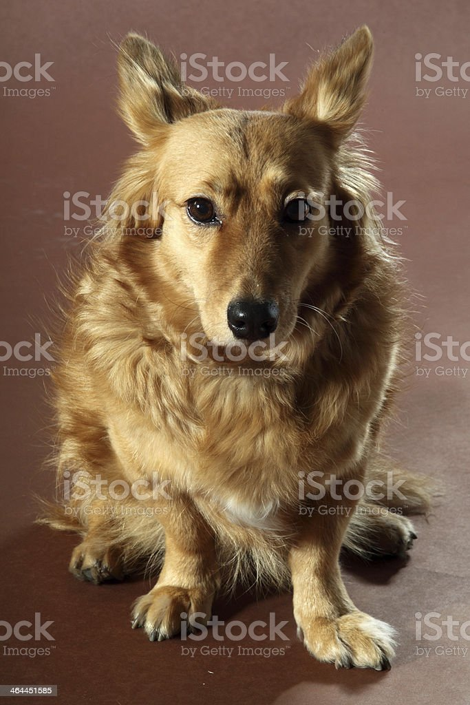 cane italiano royalty-free stock photo