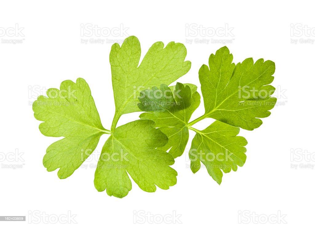Italian flat leaf parsley royalty-free stock photo