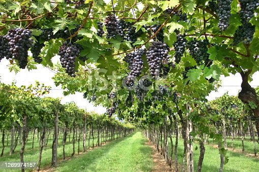 red grapes in clusters in the vineyard in Italy