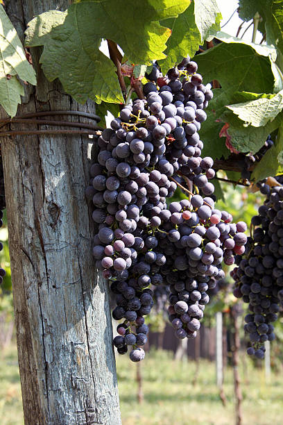 Italienische Weintrauben – Foto