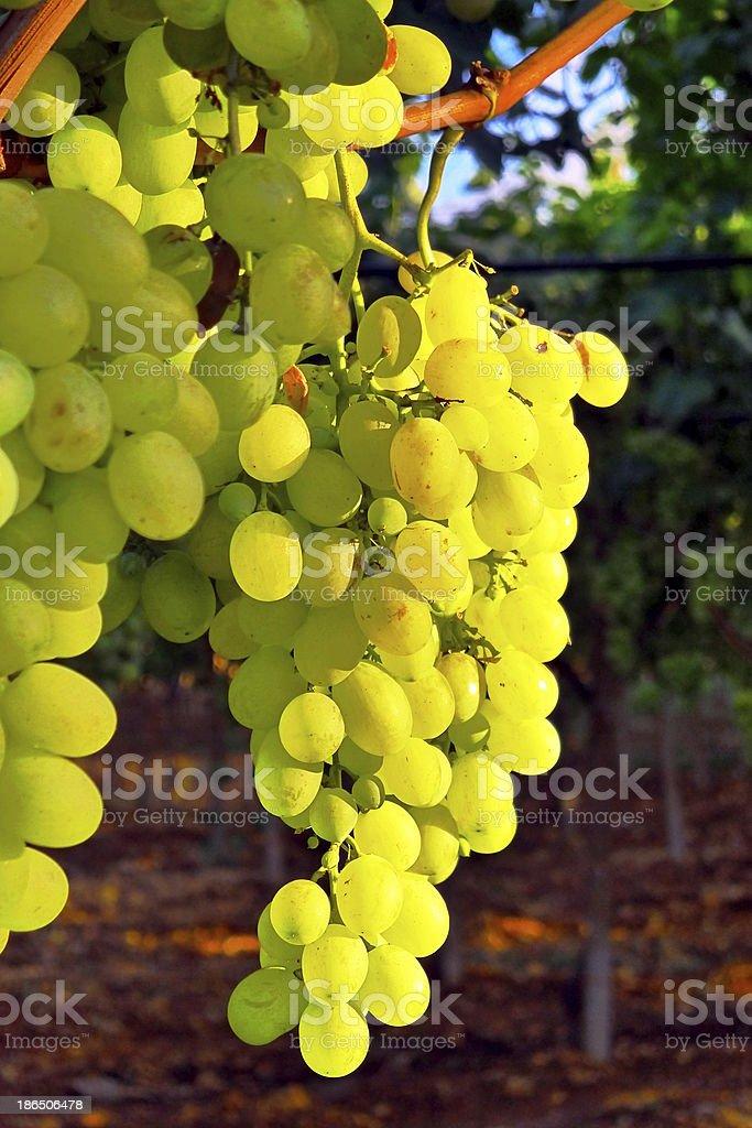 Italian grapes ripening. royalty-free stock photo