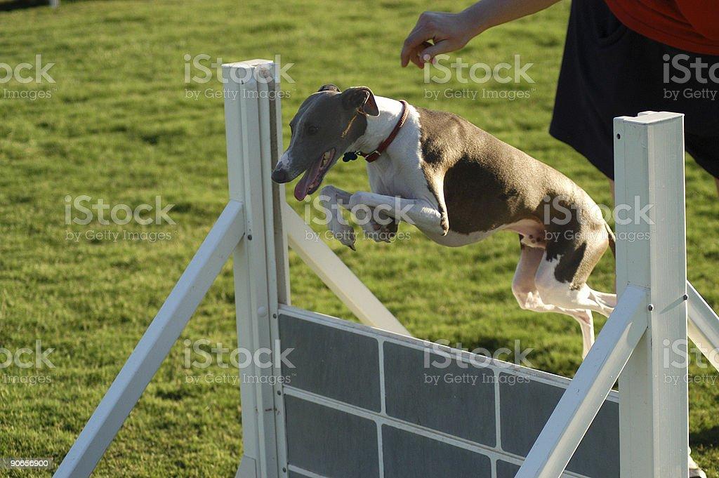 Italian Greyhound Jumping royalty-free stock photo