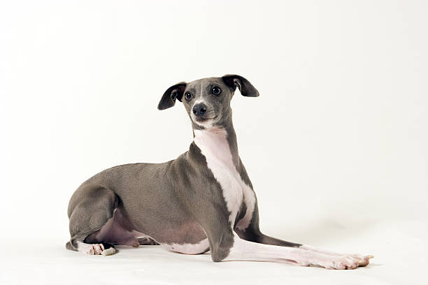 Italian Greyhound lying down  sight hound stock pictures, royalty-free photos & images