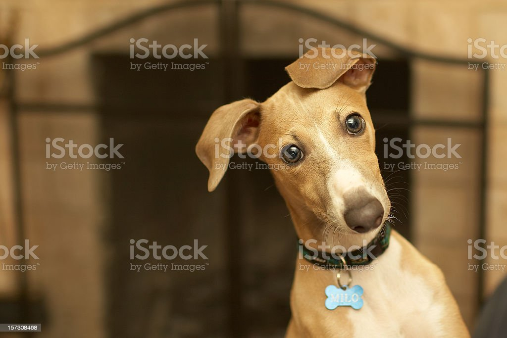 Italian greyhound (Milo) stock photo