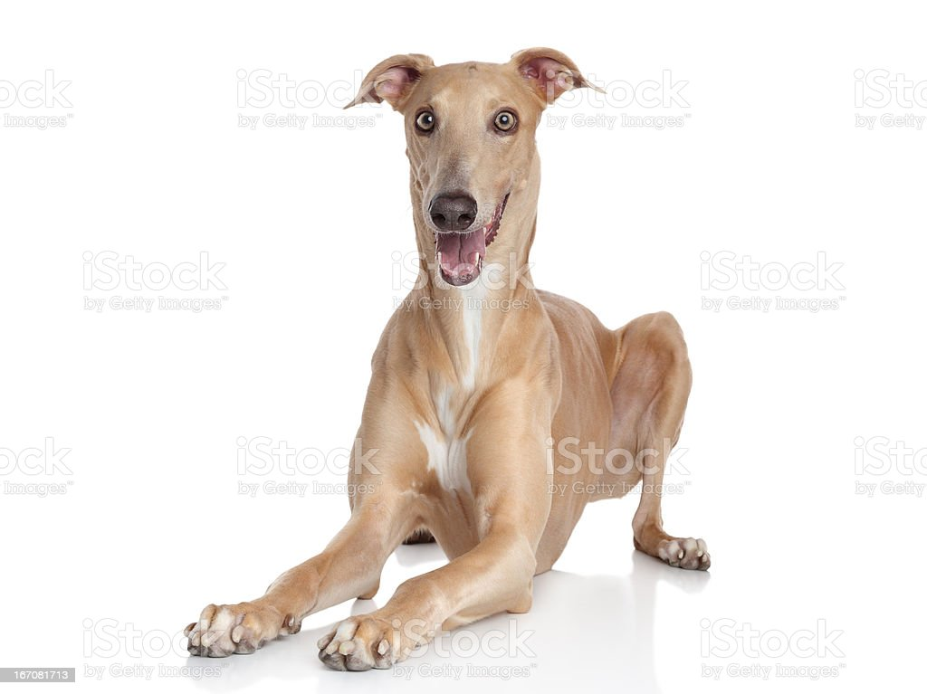 Italian Greyhound stock photo