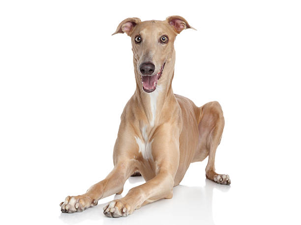 Italian Greyhound Italian Greyhound on a white background sight hound stock pictures, royalty-free photos & images