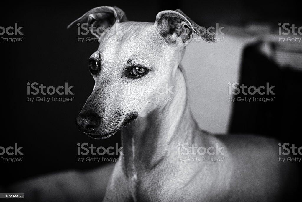 Italian greyhound (Rio) stock photo